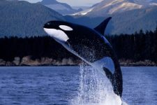 About Orcas